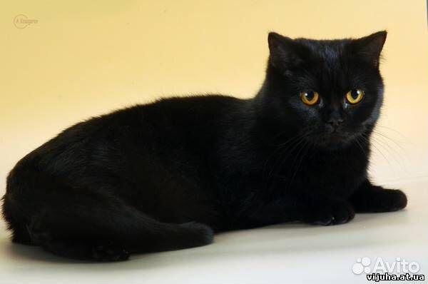 фото кошки британки прямоухой