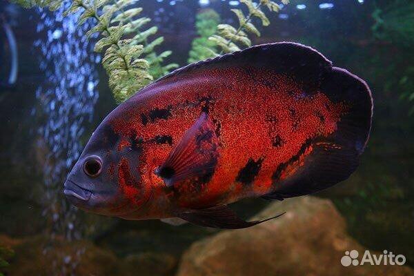 Продаём астронотусов с доставкой и другое для аквариума: рыбок, растения, улиток, аквадекор,корм