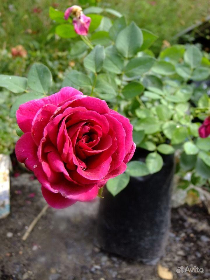 Саженцы роз купить на Зозу.ру - фотография № 8