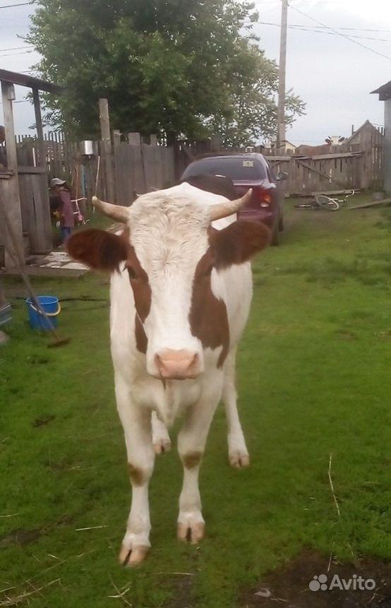 Корова в Бийске - фотография № 1