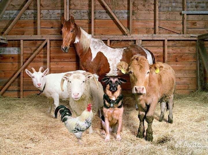 Поросята, бараны, козы, лошади, коровы