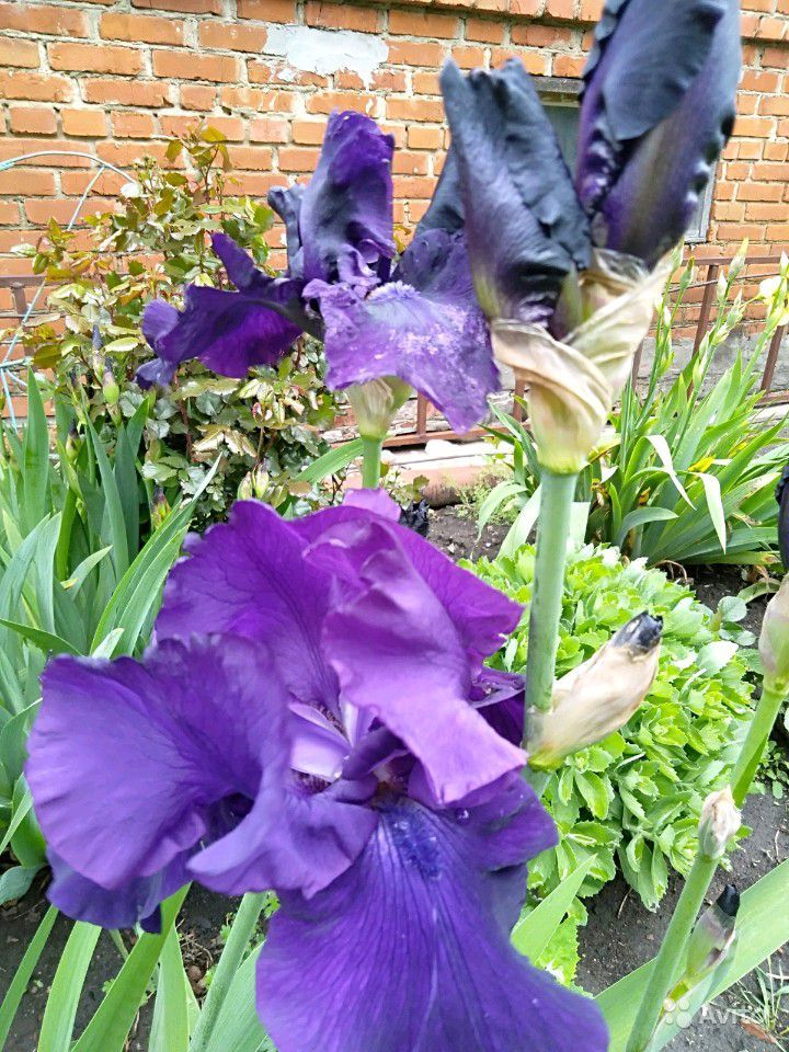 Садовые цветы купить на Зозу.ру - фотография № 3