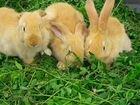 Кролики и крольчата разных мясных пород