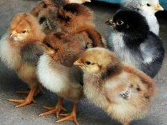 Цыплята Доминант гс 459
