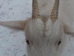 Молодая коза