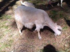 Продаю дойную молоду козу