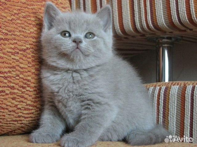 Купить британских котят коты и кошки голубые лиловые ...