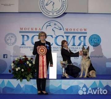 Щенки Восточноевропейской овчарки купить на Зозу.ру - фотография № 3