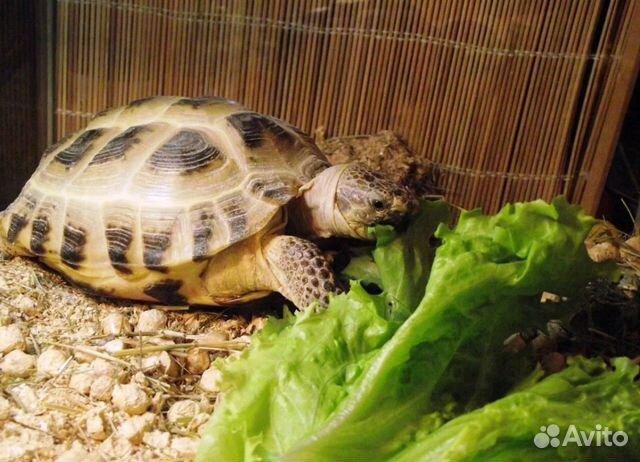 c06d45b7cd442 Сухопутная черепаха - купить, продать или отдать в Курганской ...