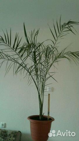 Пальма финиковая