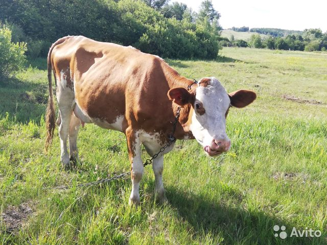 Корова и первотелка