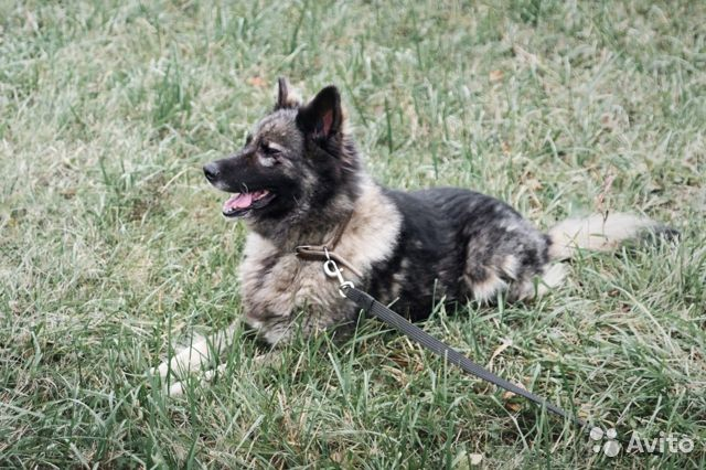Добрейшая чёрная собака ищет дом купить на Зозу.ру - фотография № 3