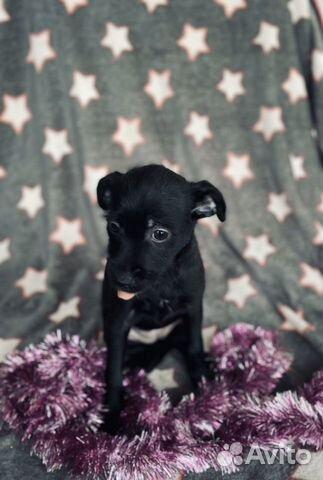 Ксолоитцкуинтли (пух ) мексиканская голая собака купить на Зозу.ру - фотография № 3