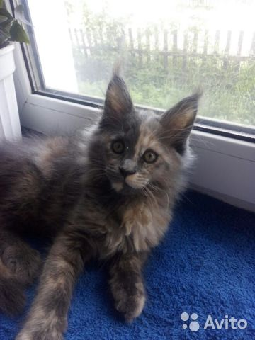 Мейн Кун котята 89170638951 купить 3