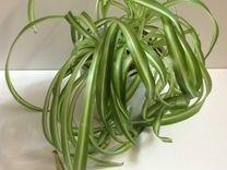 Замена овса или травы для кошек - хлорофитум