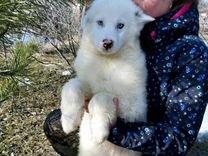 Якутская собака(щенки)