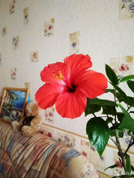Гибискус (детки и взрослые растения)  89220007860 купить 3