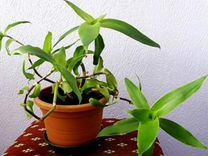 Отводки растения Золотой ус (каллизия душистая)