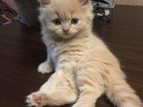 Продаю котёнка британца