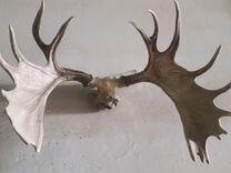 Рога лося — Охота и рыбалка в Геленджике