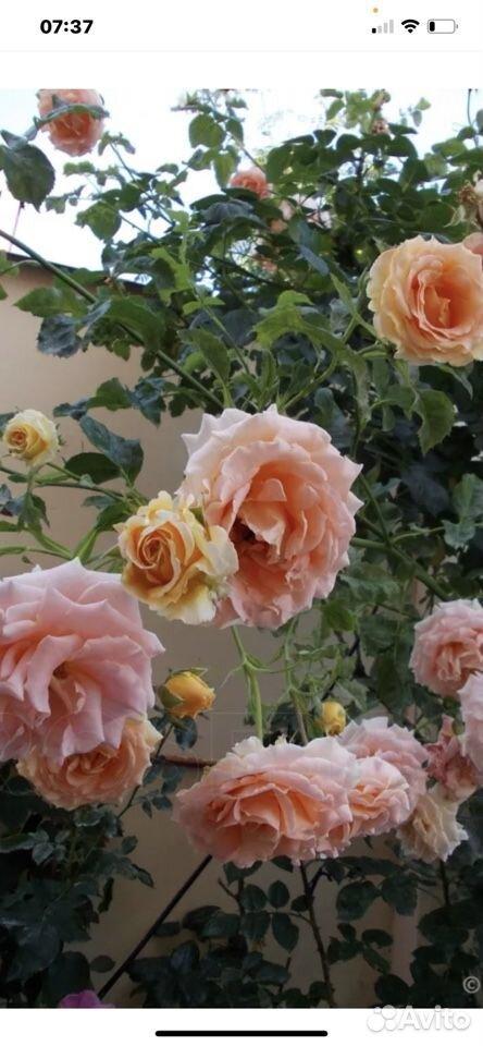 Роза  89023130587 купить 2