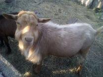 Козел и коза