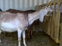 Нубийские козы. Козлята 100