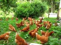 Куры — Птицы в Геленджике