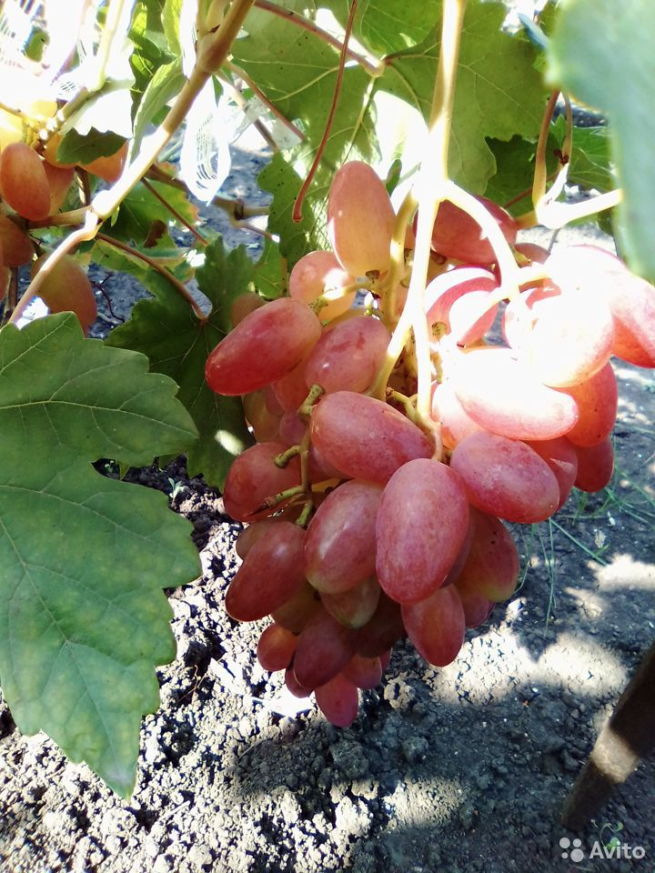 Черенки винограда  89531243354 купить 2