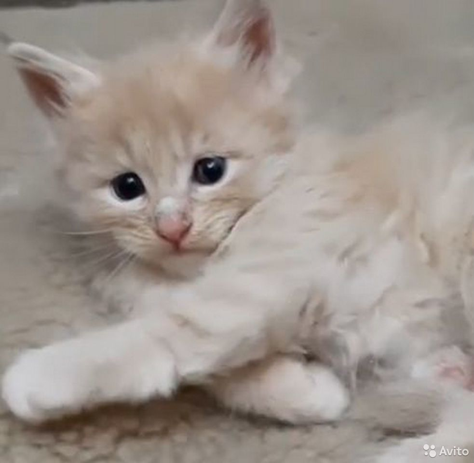 Котенок породы мейн-кун в ответственные и надежные