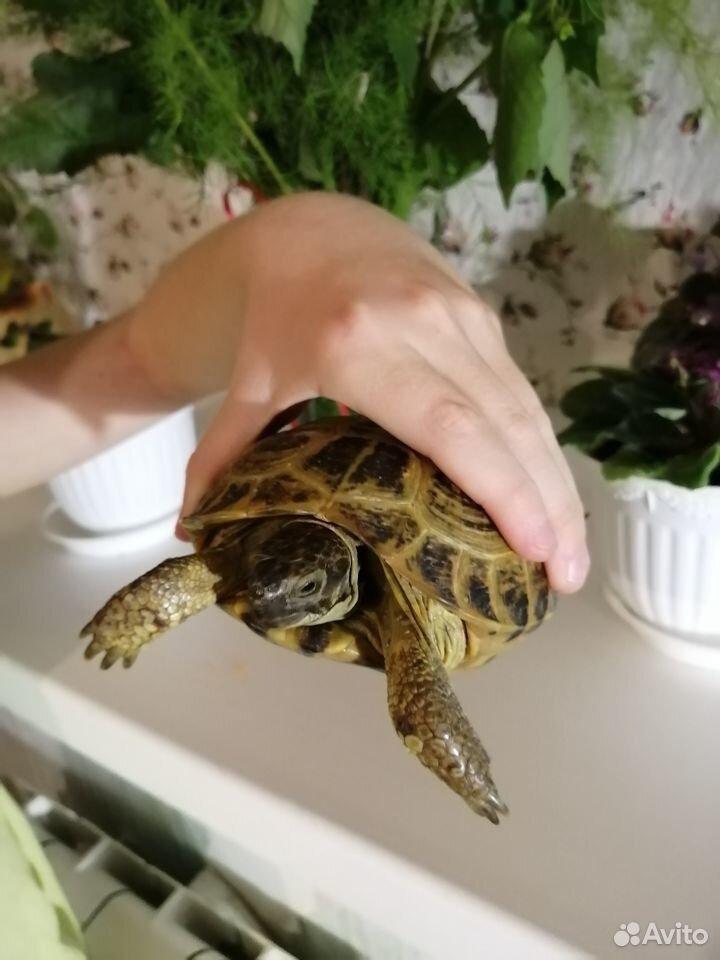Продам сухопутную черепаху  89201061477 купить 1