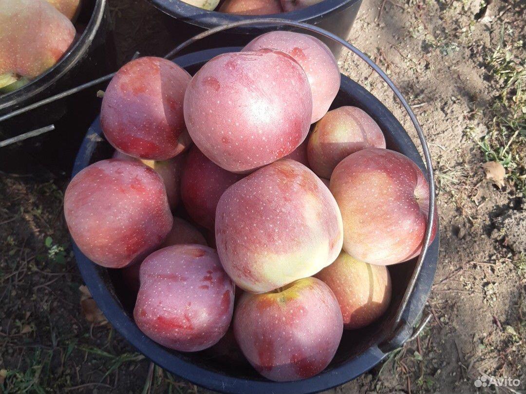 Яблоки  89640360900 купить 5