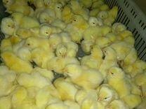 Цыплята бройлер Росс 308
