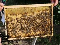 Пчеломатки,пчелопакеты