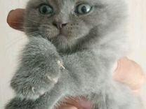 Котята бриташки
