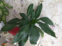 Спатифиллум — Растения в Рязани
