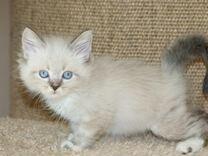 Продаются сибирские котята