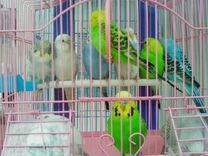 Попугайчики волнистые выставочные